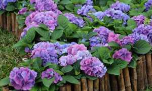 Когда пересаживать гортензию садовую