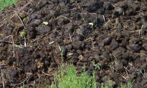 Как использовать конский навоз для удобрения огорода
