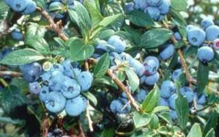 Голубика блюрей