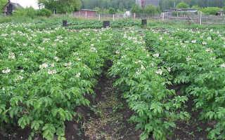 Растение картофель картинки