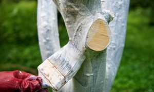Зачем белят стволы деревьев