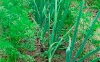 Подзимняя посадка овощей