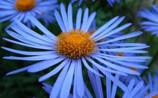 Голубая ромашка многолетняя