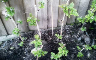 Сроки посадки малины осенью в средней полосе