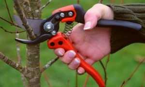 Омолаживающая обрезка плодовых деревьев