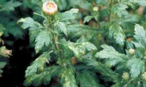 Вредители хризантем и борьба с ними