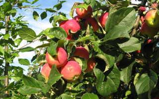 Сад яблони уход