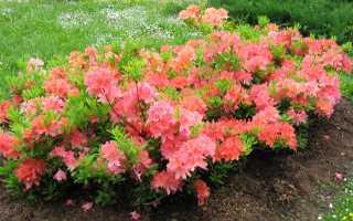 Рододендрон рози лайтс: посадка и уход