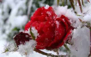 Как подготовить розы к зиме в сибири