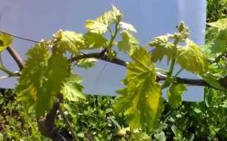 Сколько побегов оставлять на винограде