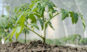 Схема посадки помидор в теплице из поликарбоната