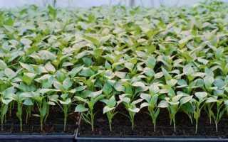 Наш огород перец секреты выращивания