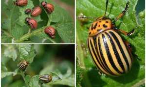 Чем травить колорадского жука
