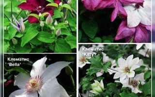 Клематис viticella: посадки и уход