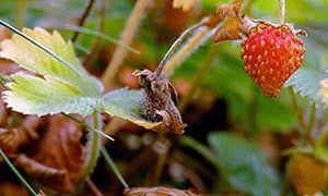 Осенняя посадка клубники