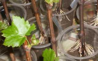 Как заготовить черенки винограда для посадки