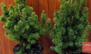 Выращивание хвойных растений в домашних условиях