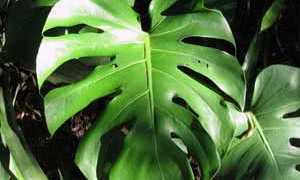 Растение с большими листьями как называется