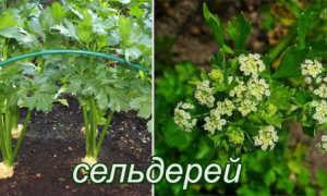 Двулетнее растение примеры