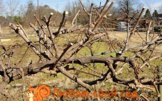 Когда убирать виноград на зиму