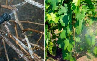 Обработка винограда после зимы