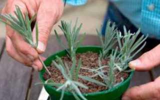 Как размножить лаванду черенками