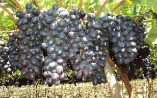 Осы бьют виноград: причины и что делать