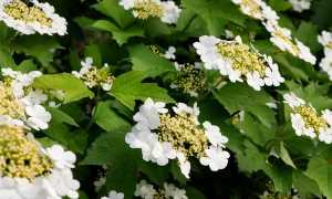 Дерево с белыми цветами название