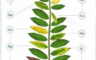 Недостаток кальция у растений