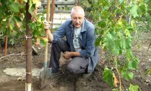Виноград прививка в корень александр крот