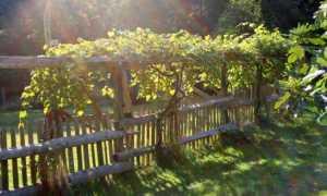 Высота шпалеры для винограда