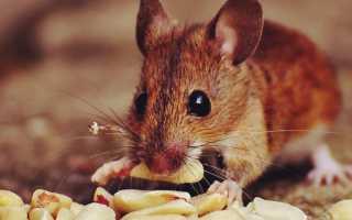 Как отпугнуть мышей в квартире