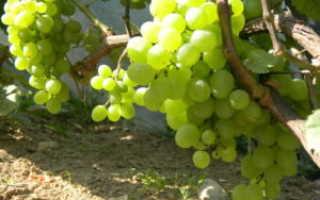 Сроки осенней обрезки винограда