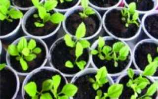 Астра низкорослая однолетняя выращивание из семян