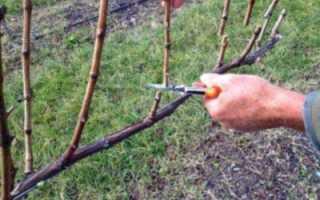 Формирование куста винограда горизонтальный кордон