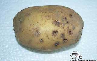 Отрава от проволочника в картошке