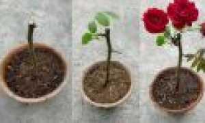 Веточная роза