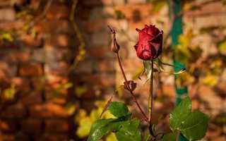 Розы под зиму уход