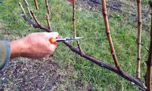 Когда обрезается виноград