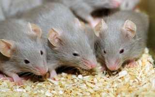 Как уничтожить мышь в квартире