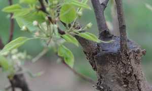 Как сделать прививку на дереве