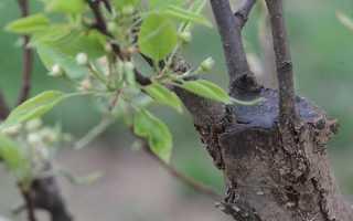 Как делать прививки деревьям