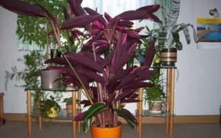 Фиолетовое комнатное растение