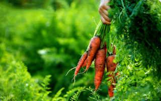 Сколько растет морковь