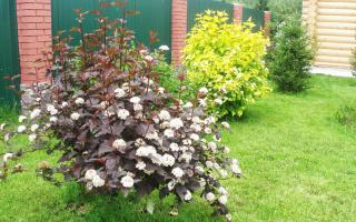 Вечнозеленые кустарники для сада