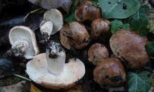 Песочники грибы способы приготовления