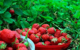 Как получить ранний урожай клубники