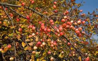Уход за яблоней осенью подготовка к зиме
