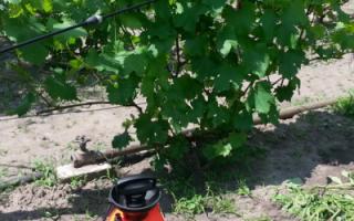 Осенняя обработка винограда медным купоросом