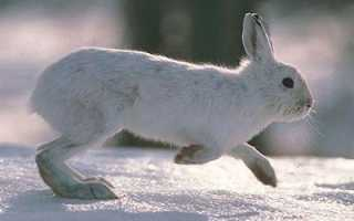 Лапа снежного зайца
